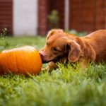 a dog sniffing a pumpkin